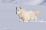 Arctic Wolves & Arctic Fox