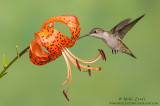 Ruby-throated Hummingbird on Orange asiatic lilly