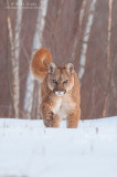 Cougar incoming!