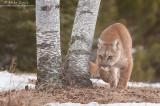 Cougar curves around birch tree