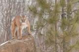 Cougar Territory
