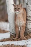 Cougar between birches