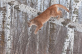 Cougar dives down off birch