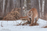 Cougar creeps around tree