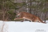 Cougar on the move