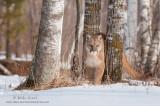 Cougar between three birch trees