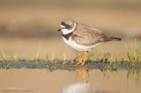 Semi-palmated Plover on strip of land