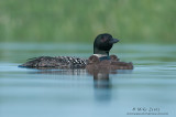 Loon family on pristine calm water