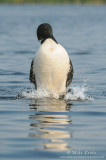 Loon does the penguin dance