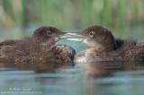 Loon babies beak to beak