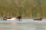Loon grooms next to baby