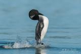 Loon doing the Penguin dance