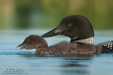 Loon mom tight after feeding baby