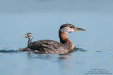 Red necked Grebe with rider