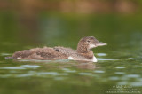 Juvenile Loon on calm waters