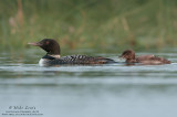 Loon baby nips moms tail feathers