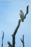 Broad-winged hawk on favorite perch