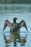 Common Loon verticle wings wide