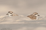 Snowy Plover couple