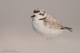 Snowy Plover stoic in sand