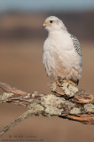 Gyrfalcon (white phase) on mossy perch