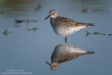 White-rumped Sandpiper reflectings