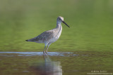 Willet in dual colored waters