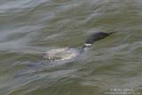 Loon swims underwater