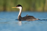 Western Grebe with fluffy