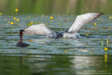 Loon attacks a Red-necked Grebe