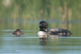 Loon parenting on calm waters