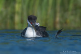 Western Grebe with baby and feather