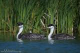 Western Grebe full family in reeds