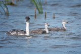 Western Grebe with bigger babies
