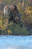 Moose Cow eye level in river