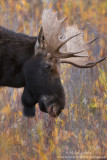 Moose head in Willows