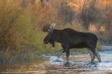 Moose crosses the Snake River