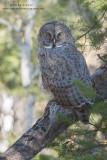 Great Gray owl camoflauged