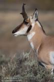 Pronghorn antelope portrait