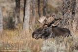 Moose laying down