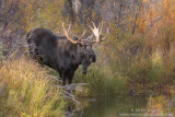 Moose about to enter water