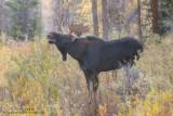 Moose flehmen display