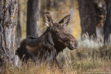 Moose bedding down in soft grasses