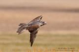 Gyrfalcon (juvenile) in flight