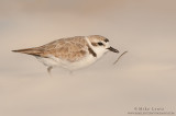Snowy Plover after weed