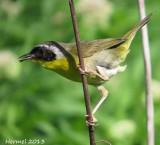Paruline masquée nichant dans les Eupatoires maculées- Common Yellowthroat  nesting in Joe- Pye weeds