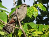 Moqueur chat - imm - Gray Catbird