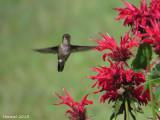 Colibri à gorge rubis - Ruby-throated Hummingbird