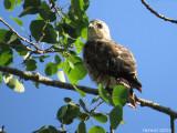 Petite Buse - Broad-winged Hawk