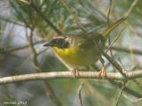 Paruline masquée - Common Yellowthroat